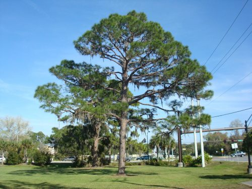 Loblolly Pine - Call for details