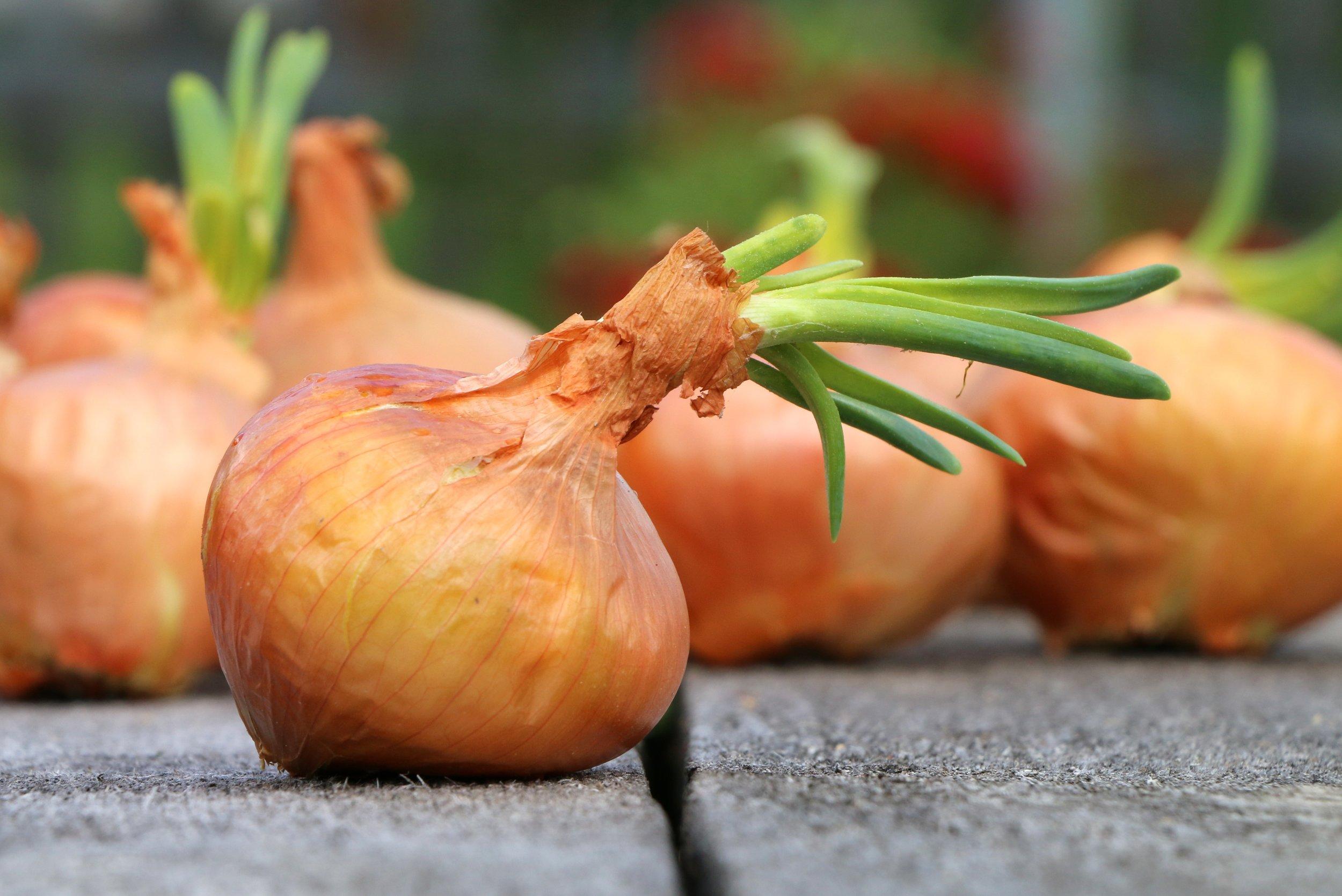 onion-1507519.jpg