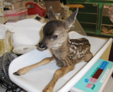 Fawn  A fawn, brought in by Piedmont animal control, found in a residential yard. The doe was seen nearby after the fawn had been taken. Staff at the Montclair Vet Hospital examined the fawn and released him to same animal control officer, who then returned the fawn to the original site and watched mom and baby reunite.