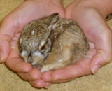 Rabbit  Baby rabbit orphan brought to Montclair Vet Hospital, examined, treated, and then transferred to a local wildlife rescue center for rehabilitation and release.