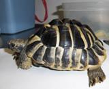 Tortoise  Hermann's tortoise brought to the Montclair Vet Hospital.