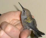 Hummingbird  Red-throated hummingbird brought to Montclair Vet Hospital, examined, treated, and then transferred to a local wildlife rescue center for rehabilitation and release.