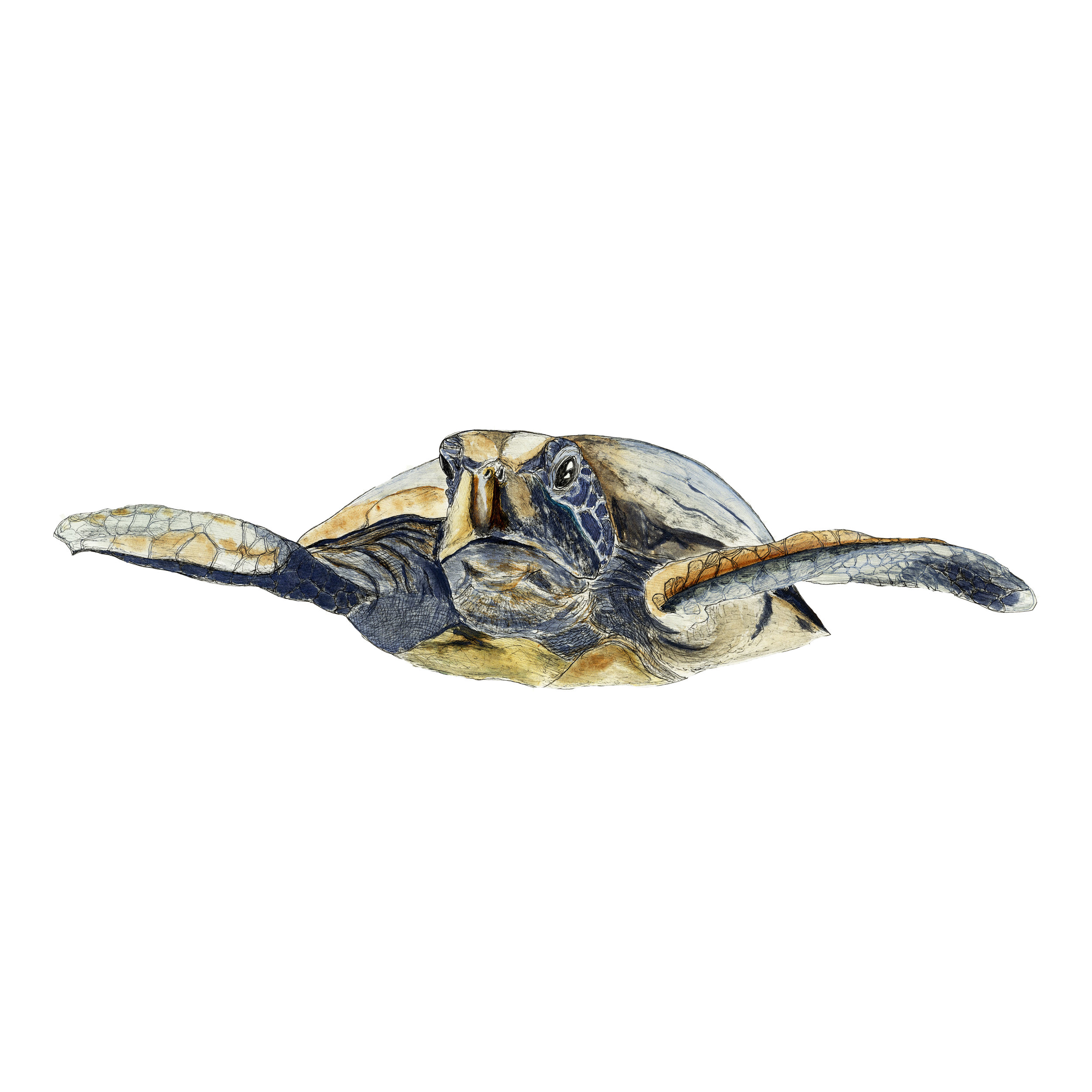 Sea Turtle by Sebastian Thalheim Watercolour Painting