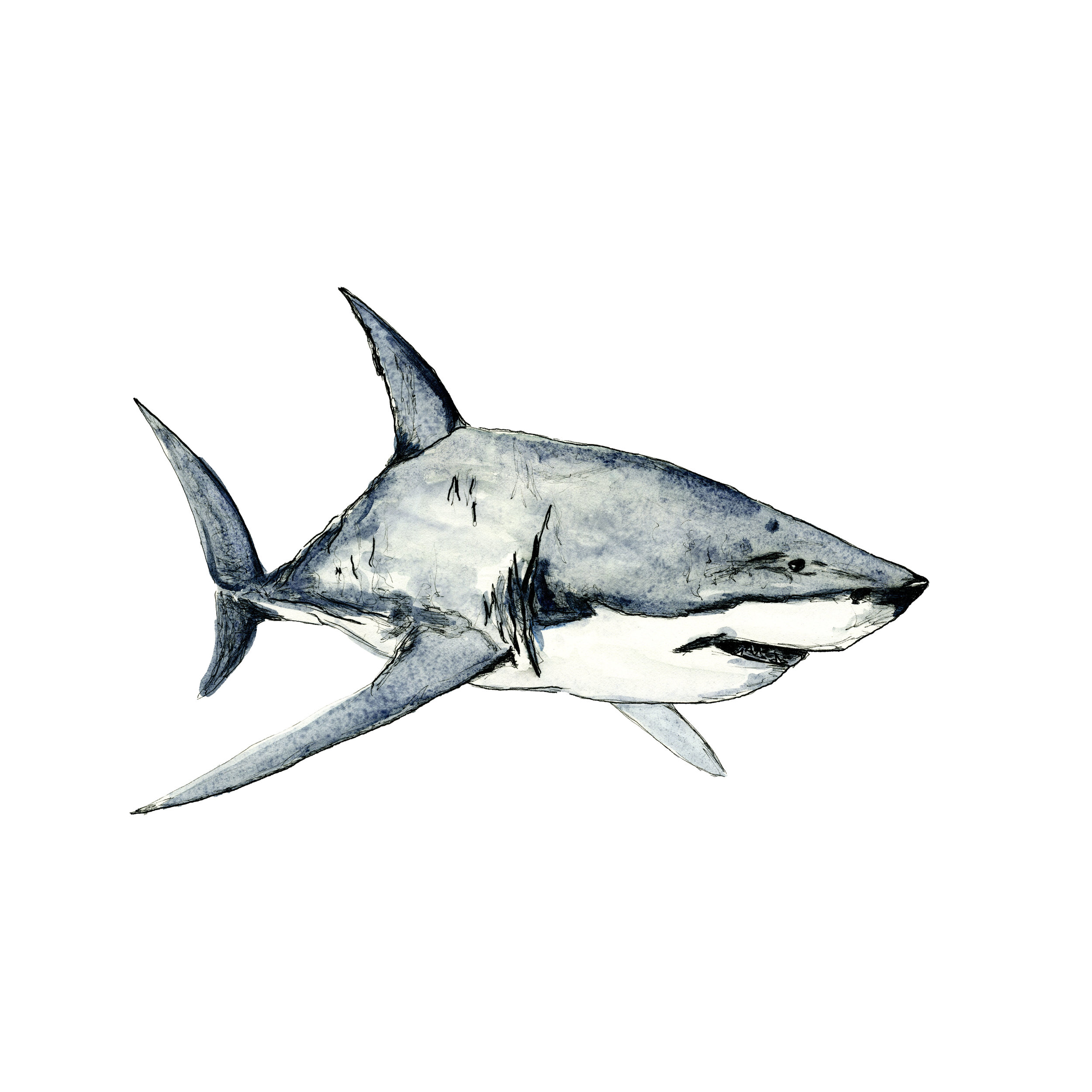 Great White Shark watercolour artwork by sebastian thalheim seppdesigns