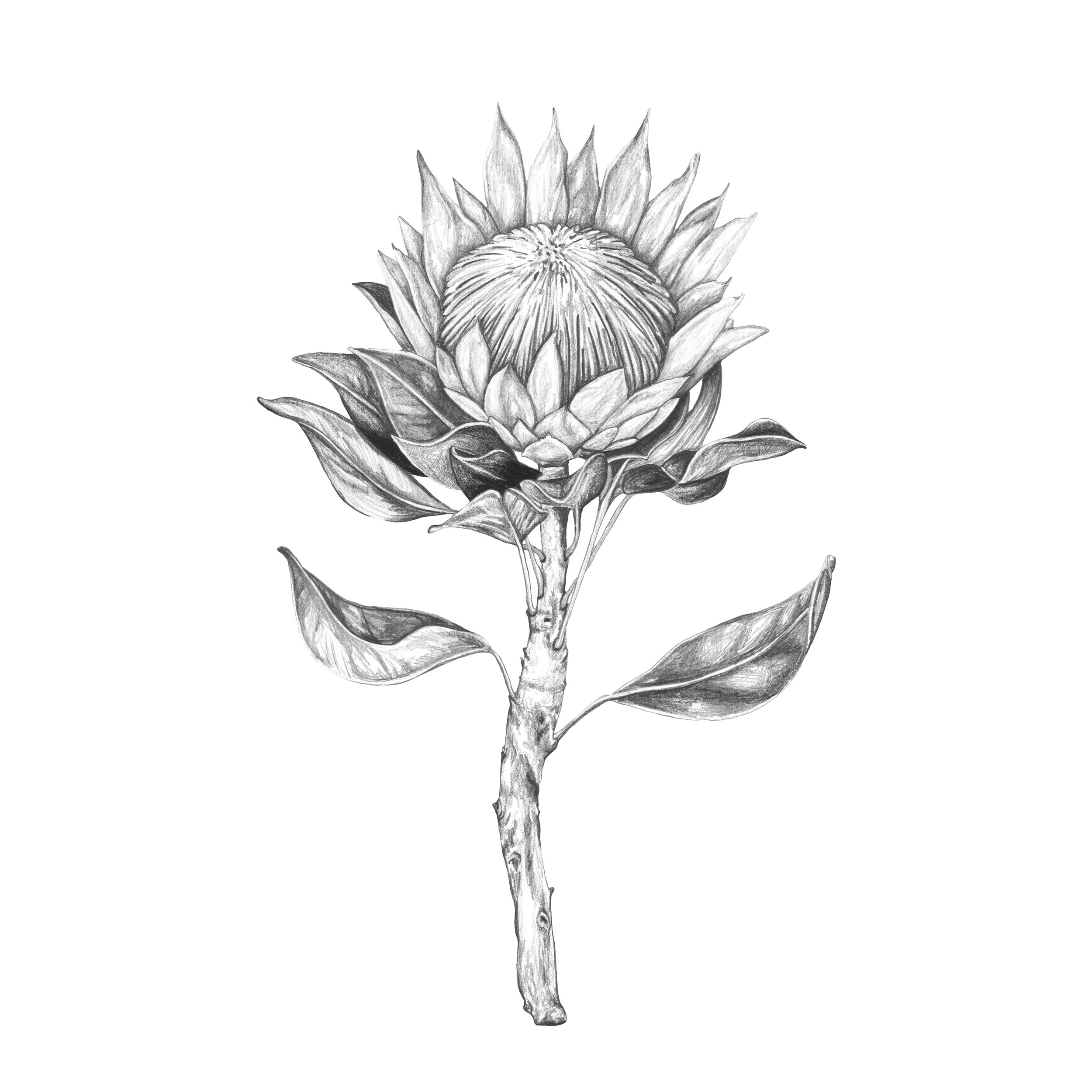 King Protea Artwork Painting Grapite Pencil drawing art limited edition print by paula formosa australian southa african flora