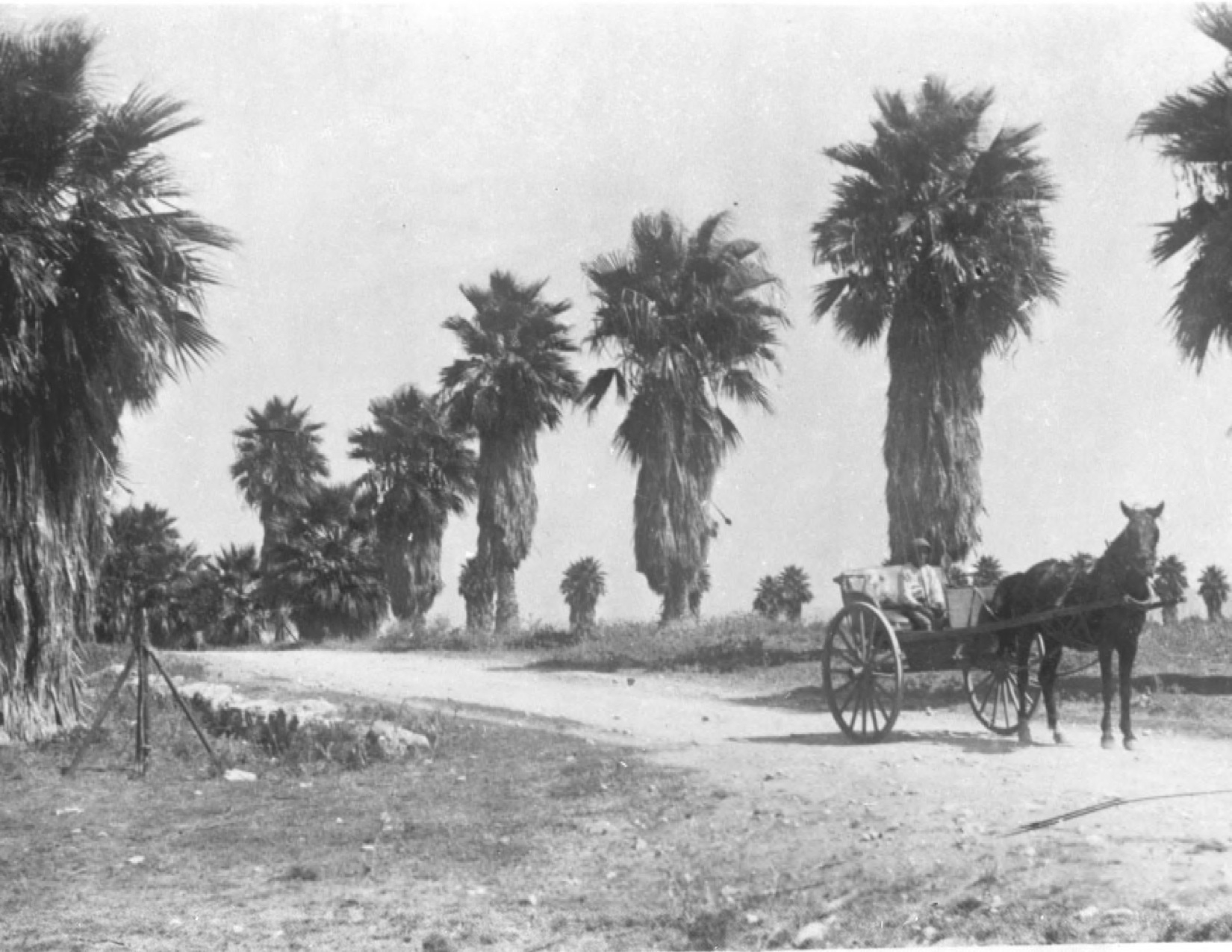 The palm trees on the way to the agricultural station in Atlit