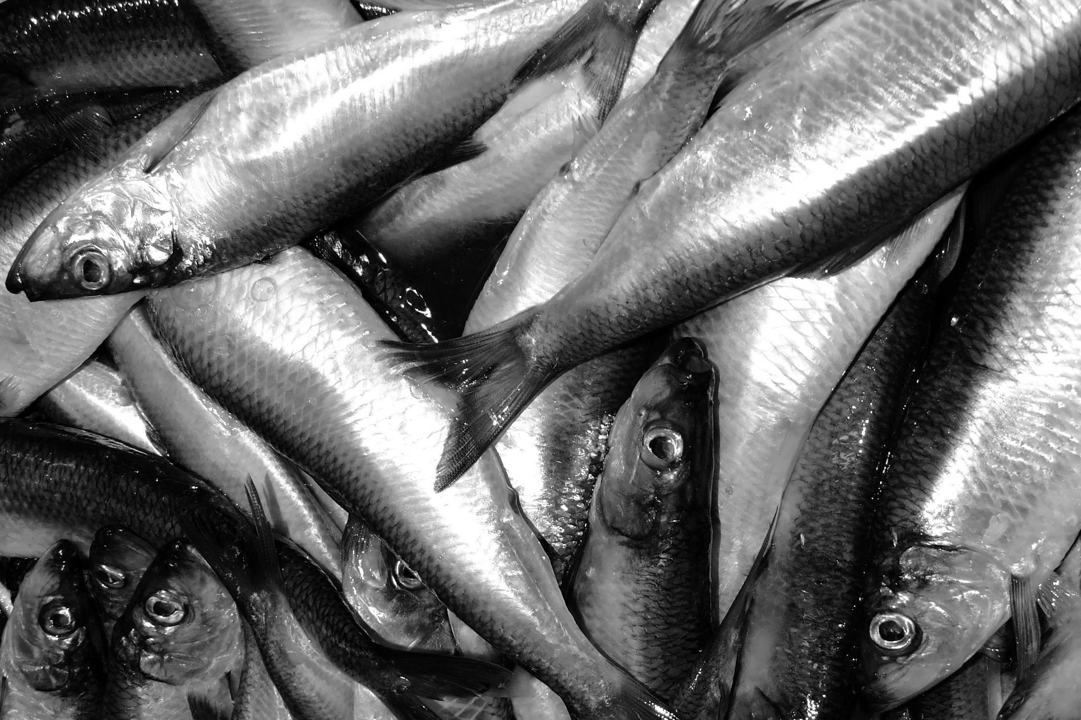Scotia Garden Seafood Whole Herring