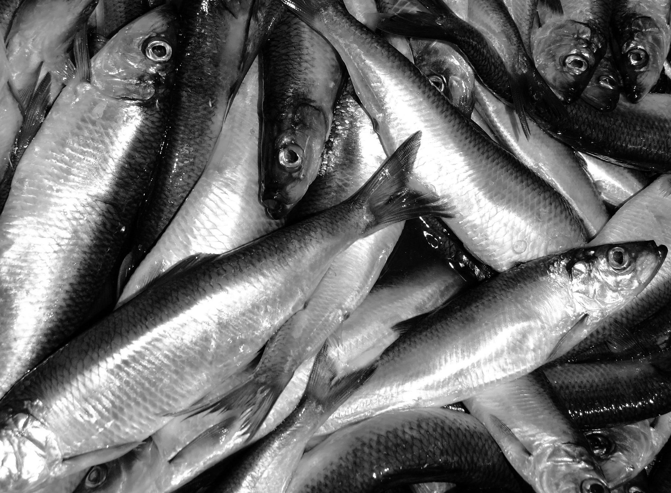 Scotia Garden Seafood Bait