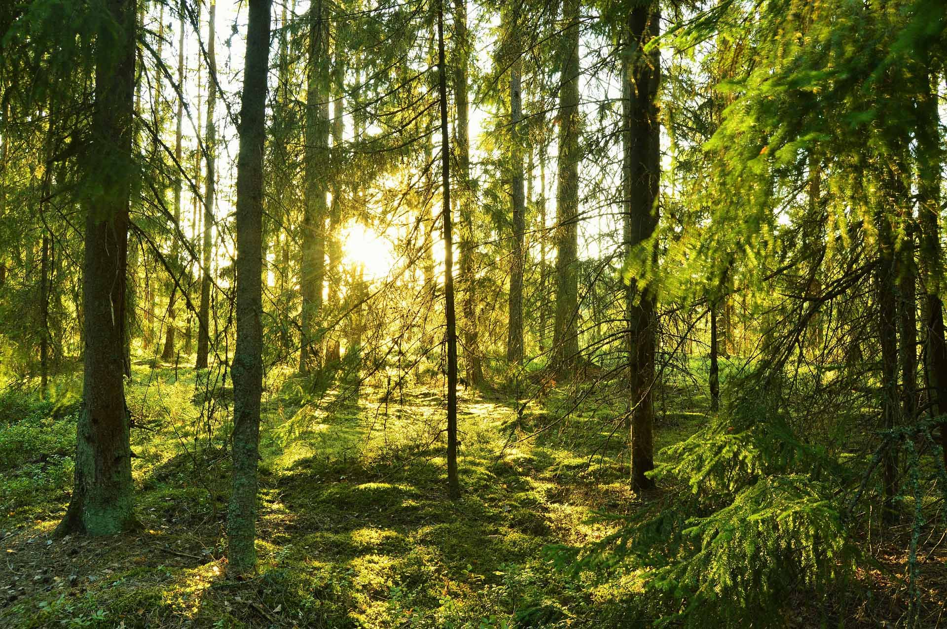 A forest glade in Sweden with the sun peeking out behind pine trees.