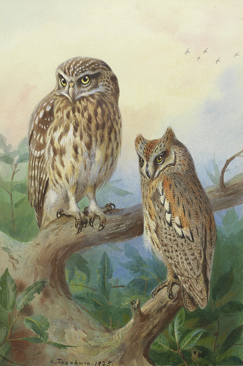 Little Owl and Scops Owl. Signed and dated 'A. Thorburn. 1925
