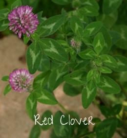 pix-redclover1-smythehouse.jpg