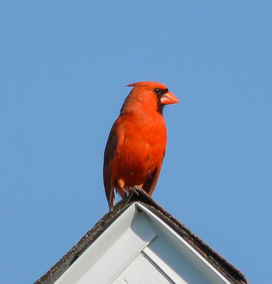 Cardinal-on-roof-1.jpg