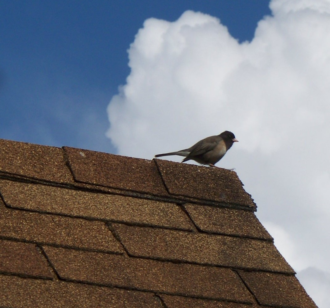 Song_bird_perched_on_asphalt_shingle_roof.JPG