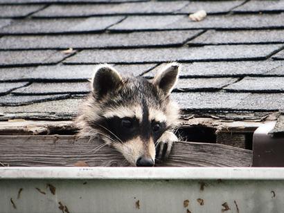 raccoon1b.jpg