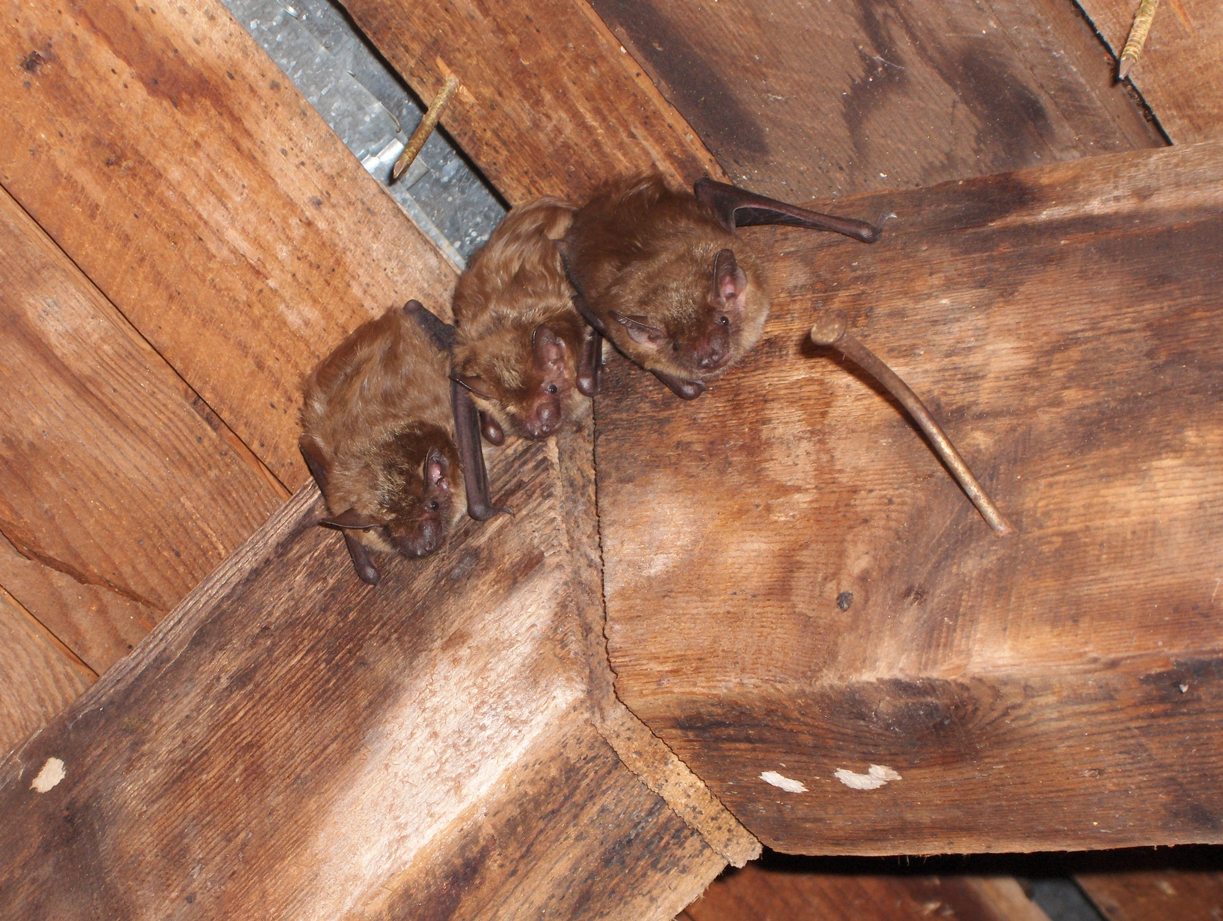 big brown bat Tony Ross.jpg