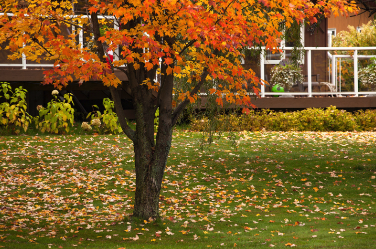 Fall leaves home yard.png