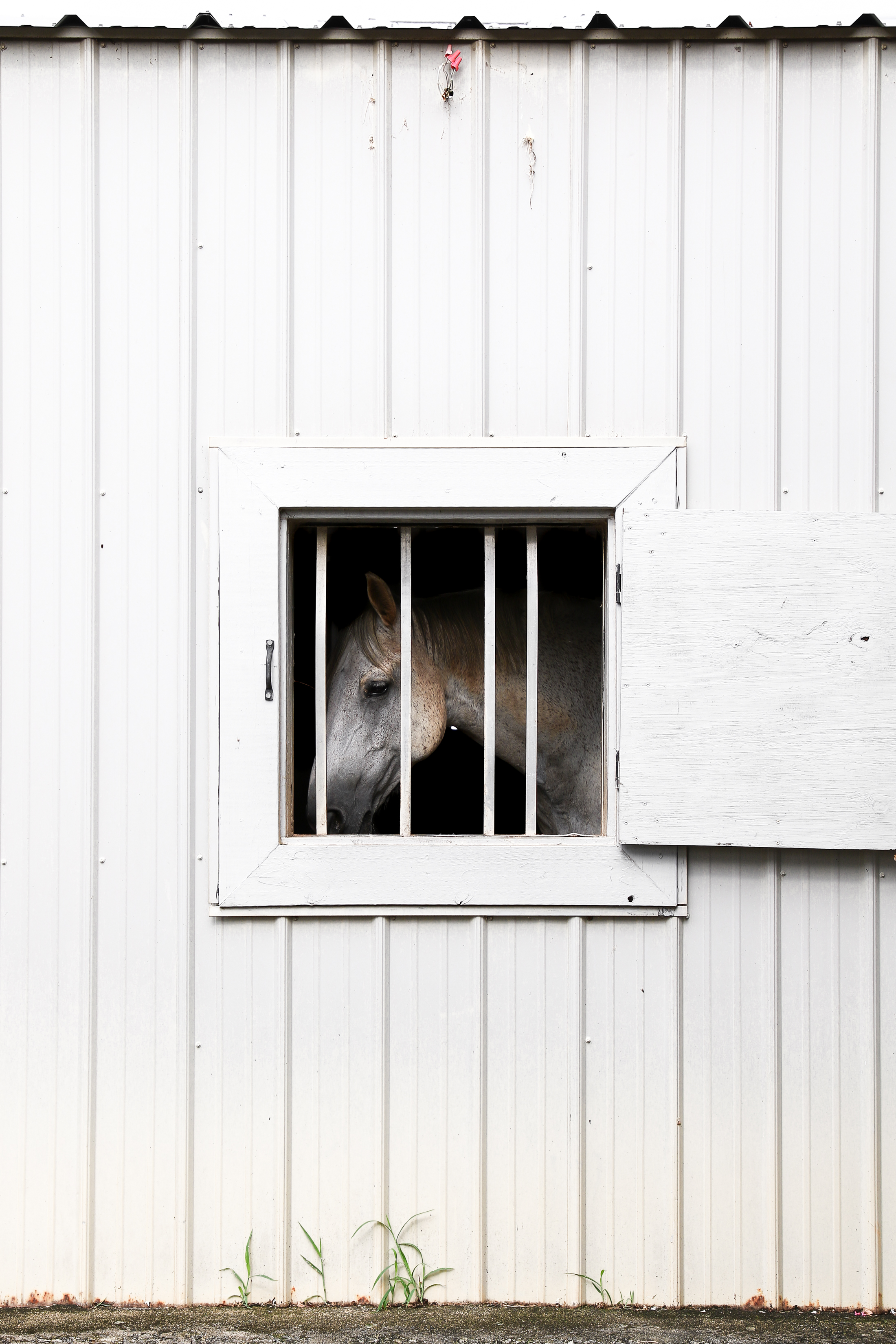George, a University of Georgia equestrian horse, peers out the window of his stable in Bishop, Georgia, on Tuesday, July 17, 2018.