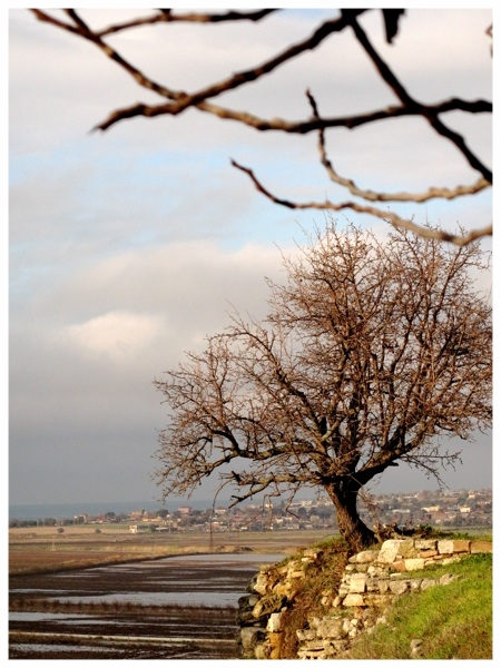 Troy Tree 1 - Troy, Turkey.jpg