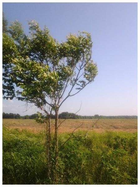 Troy Tree 1 - Troy, Louisiana.jpg