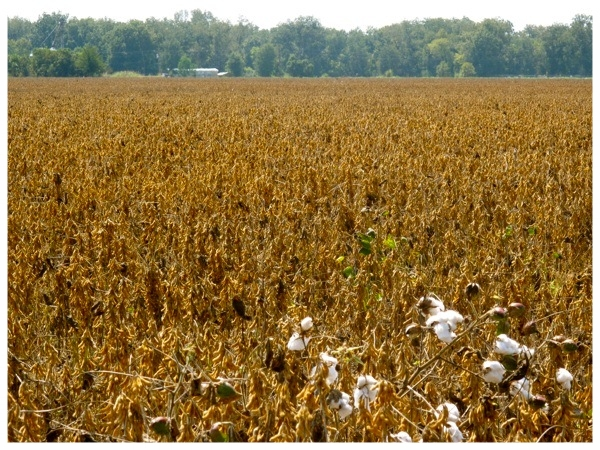 Cotton Field - Louisiana.jpg