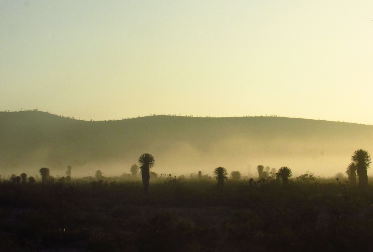 Joshua Trees at Dawn, Mexico