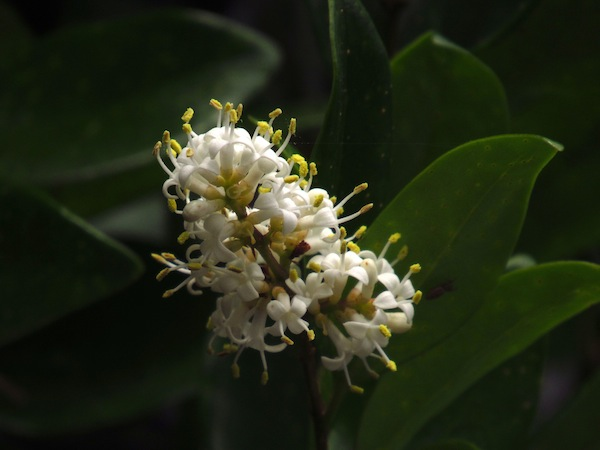 Last Ligustrum Bloom