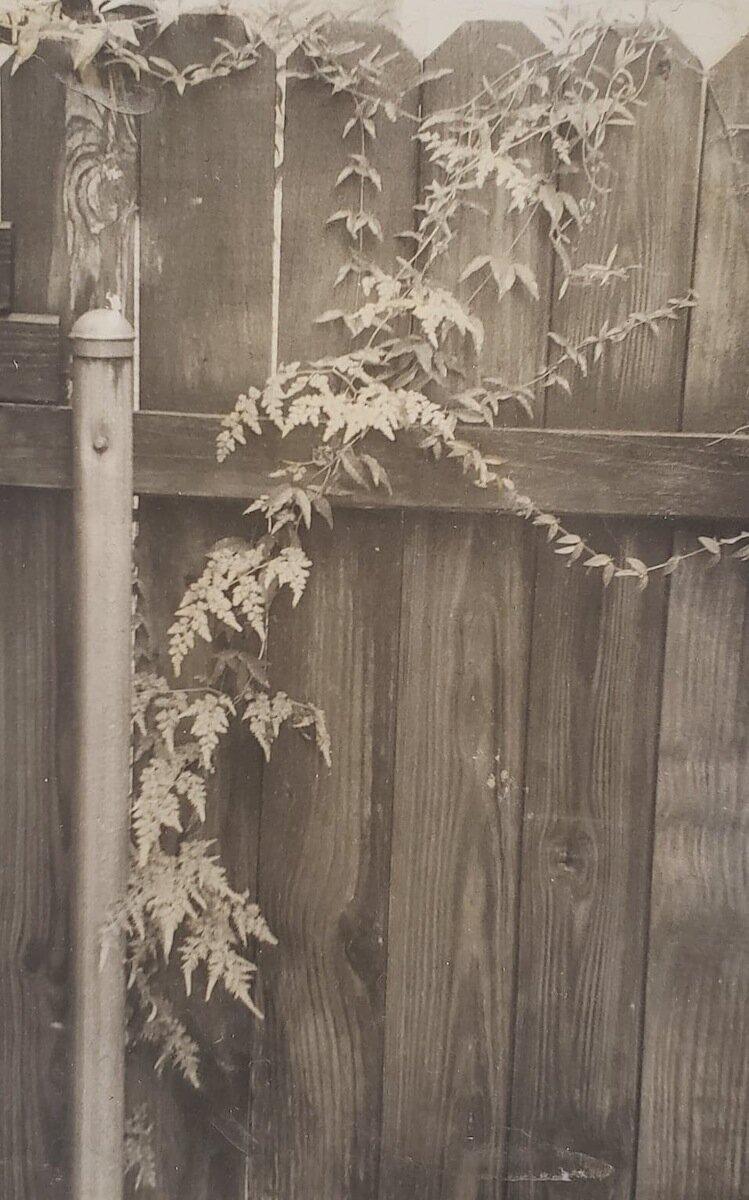 TeaToned Ferns