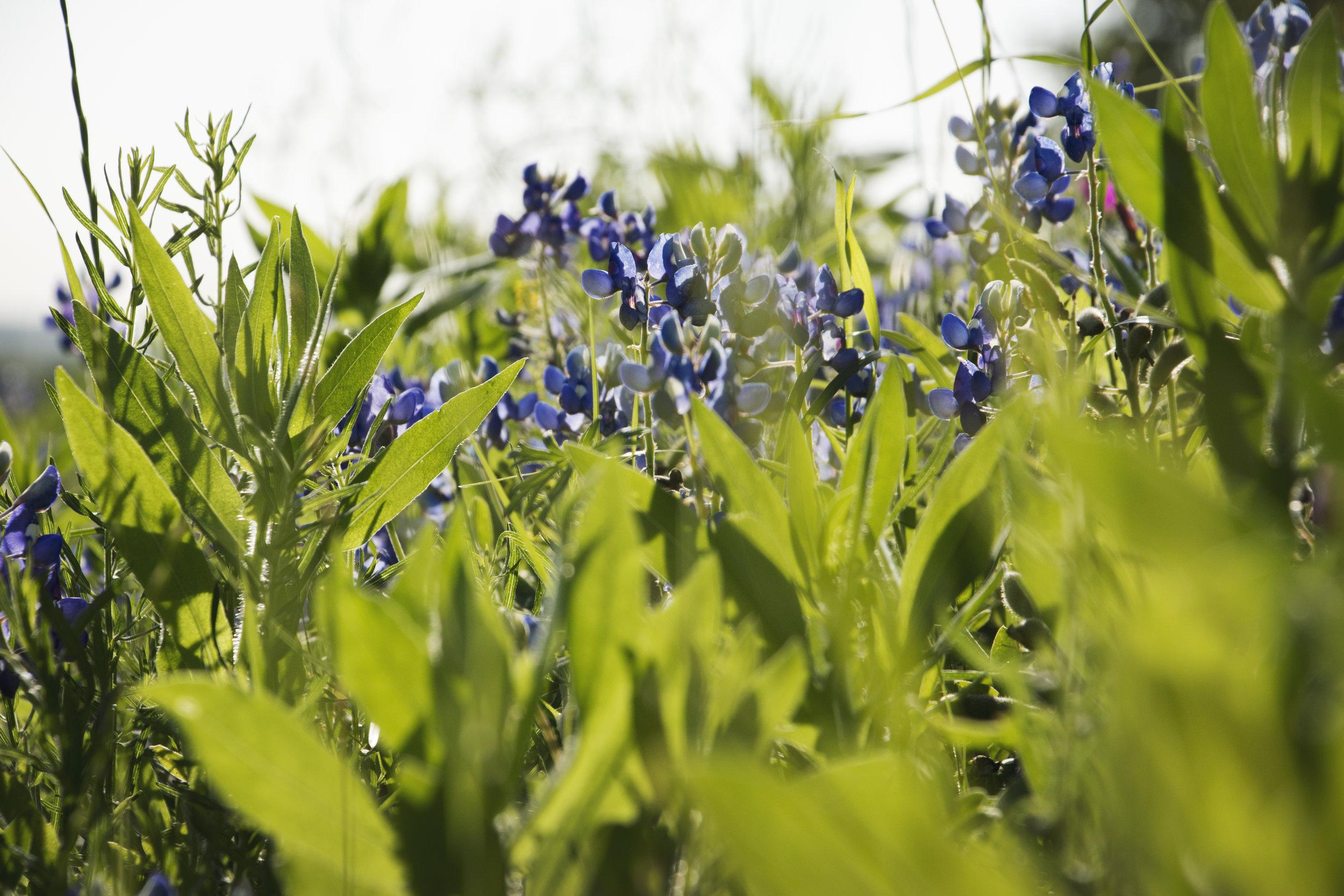 Bluebonnets near Gonzales, TX