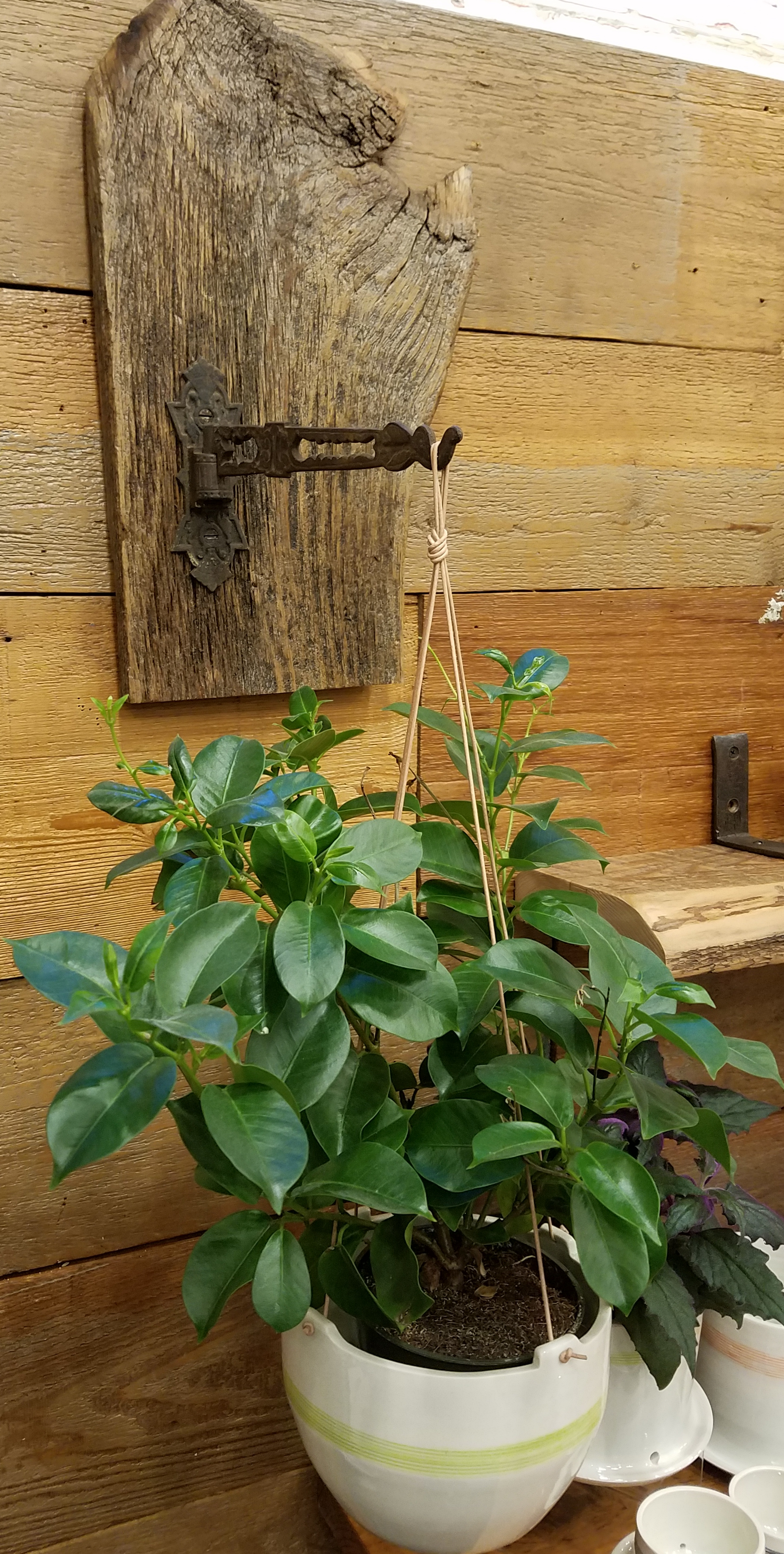 Antique Iron Plant Hook Mounted On Reclaimed Wood