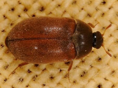 Feldgæra (Attagenus smirnovi)