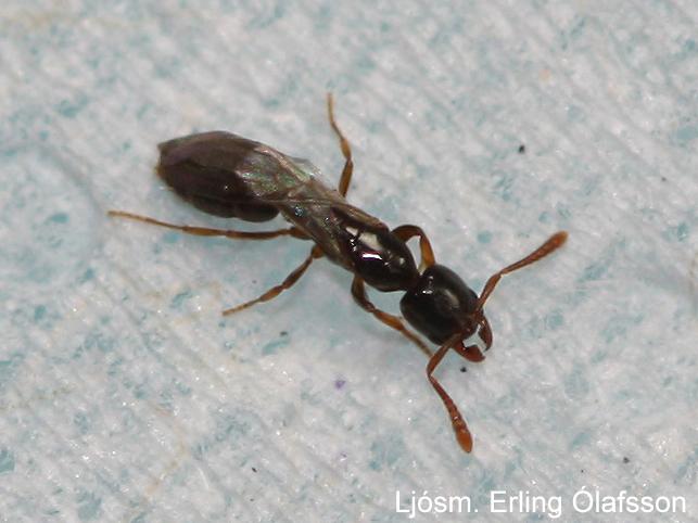Húsamaur (Hypoponera punctatissima)
