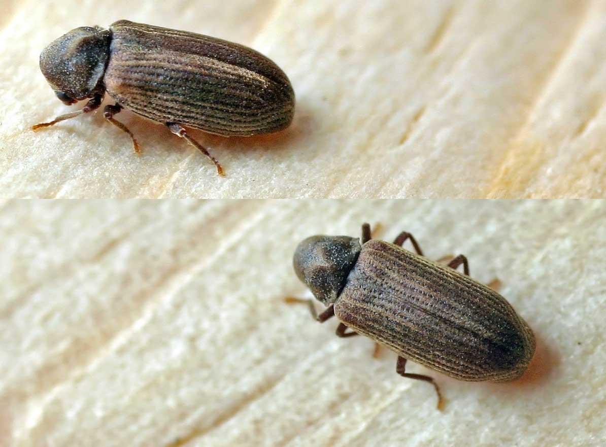 Veggjatítla (Anobium punctatum)