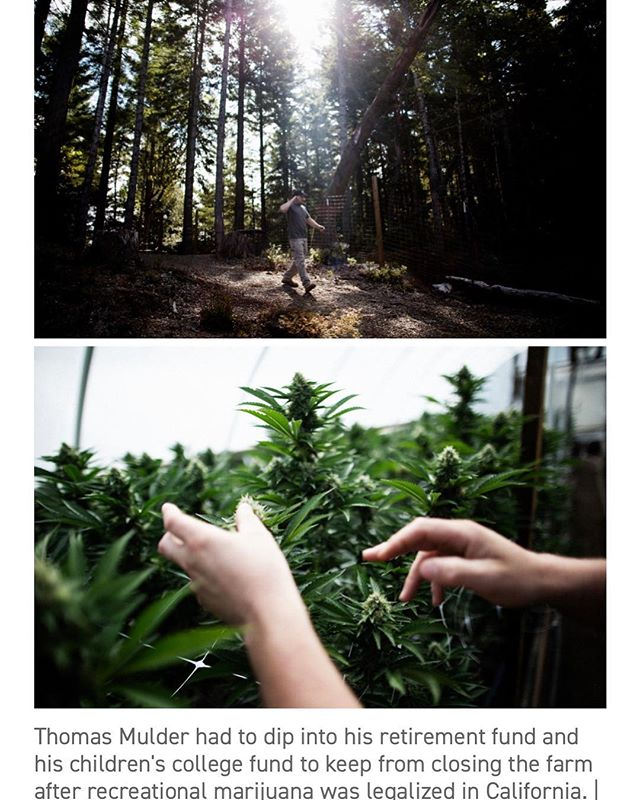 Great article from @politico discussing impacts the regulatory climate is having on Humboldt's small farmers, featuring Mother Earths Senior Project Manager -Trillian Schroeder. Link in bio ⬆️ . . photos by @taliaherman1  content courtesy of @politico . . #emeraldtriangle #humboldt #cannabiscommunity #cannabisfarmers #trinitycounty #miranda #smallfarms #currentaffairs #californianews #motherearthengineering