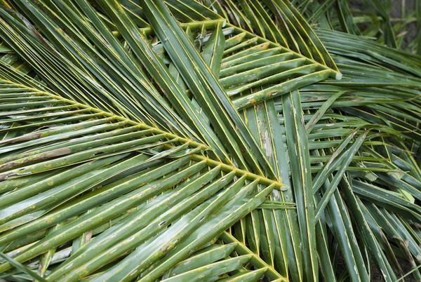 palm_leaves.jpg