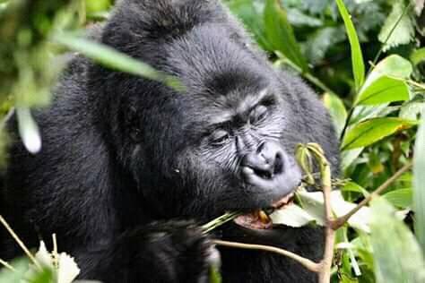 Gorillas 1.jpg