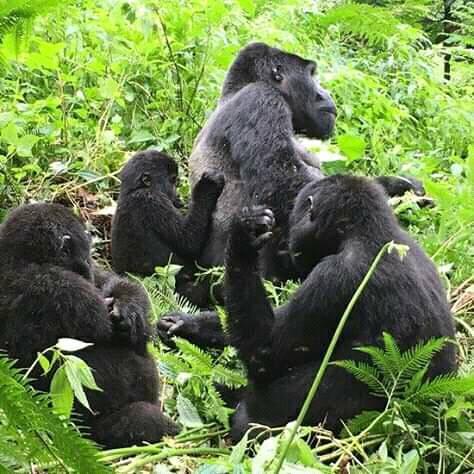 Gorillas 2.jpg
