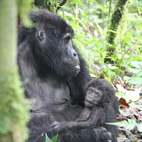 Gorillas 3.jpg