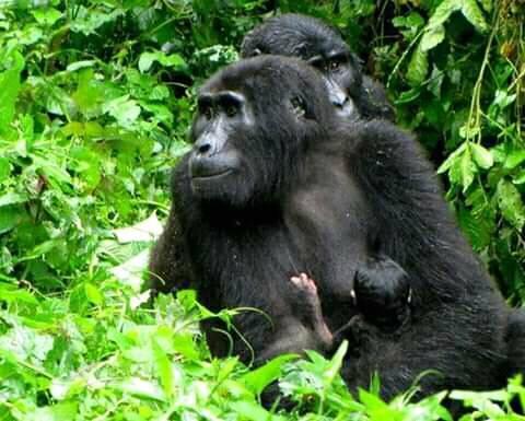 Gorillas 4.jpg