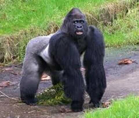 Gorillas 6.jpg