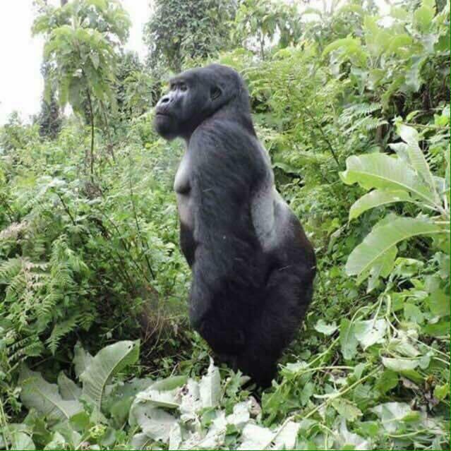 Gorillas 8.jpg