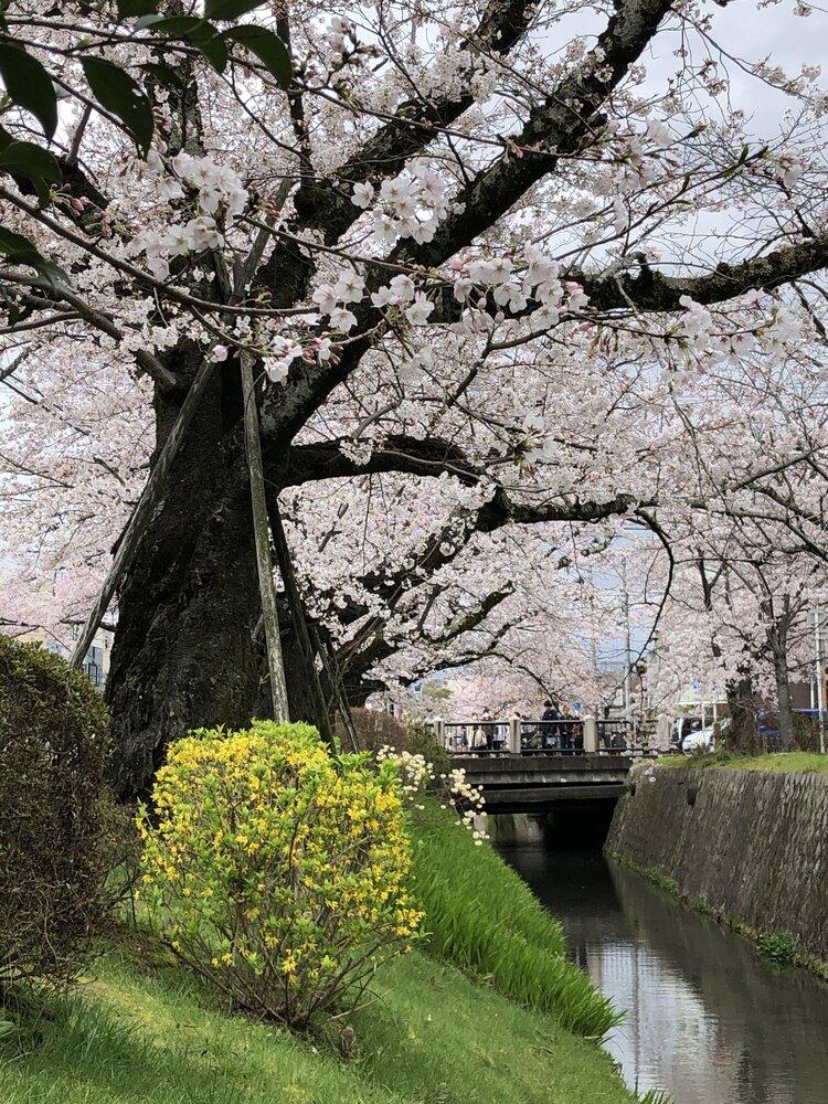 京都、あちこちに咲く満開の桜。4月に日本にいるのは、何と8年ぶり!静けさの中にも咲き誇る、圧倒的な自然の美しさを堪能させていただいています。