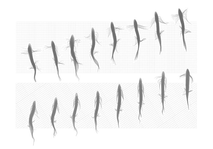 Lungfish walking, from  King et. al, PNAS 2011