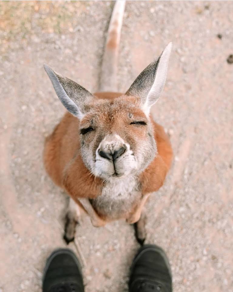 Kangaroo_oakvale_PS.jpg