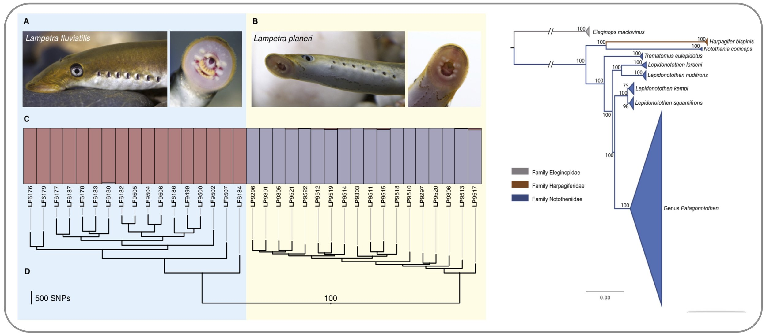 Left: Evidence for  strong genome-wide differentiation between distinct lamprey ecotypes  that were previously thought to be the product of phenotypic plasticity  (   Mateus et al. 2013   ) .  Right:  Phylogenomics  applied to Patagonotothen icefish species reveals  incomplete species boundaries  in this adaptive radiation  (   Ceballos 2019   ).