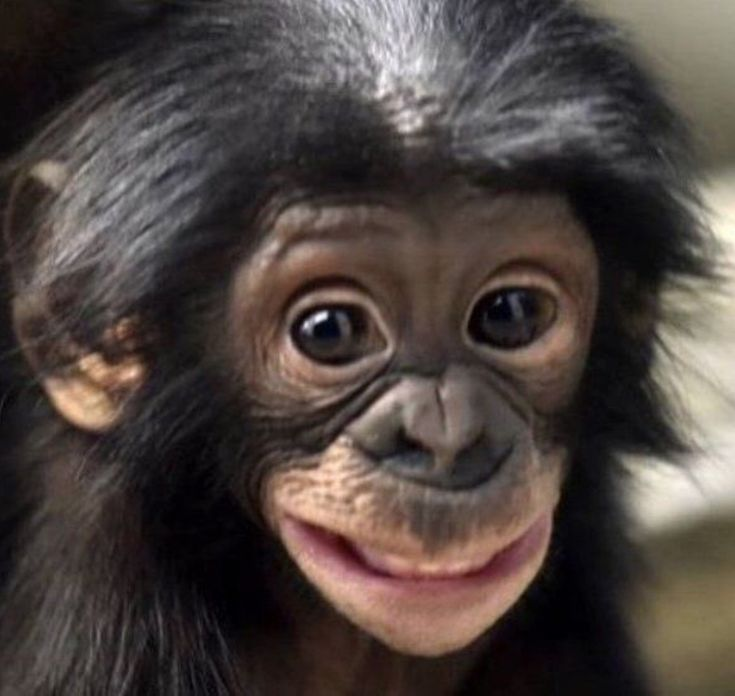 Happy to be born a bonobo.