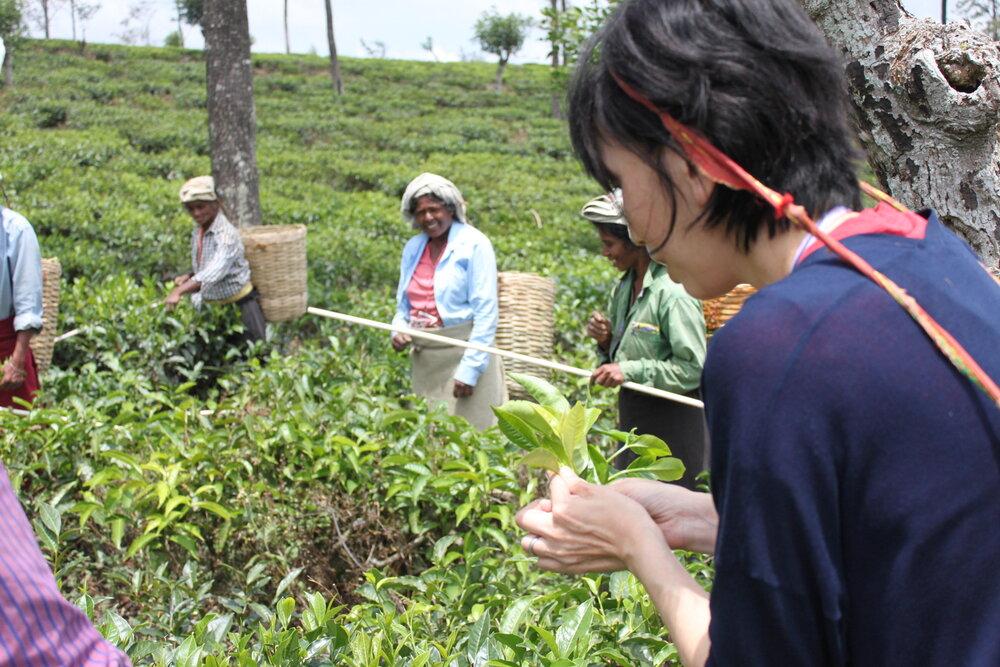 Tea estates, Nuwara Eliya