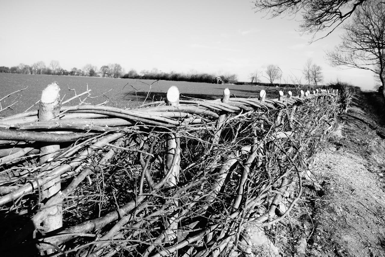 Beautiful Hedge laid by Tim Radford
