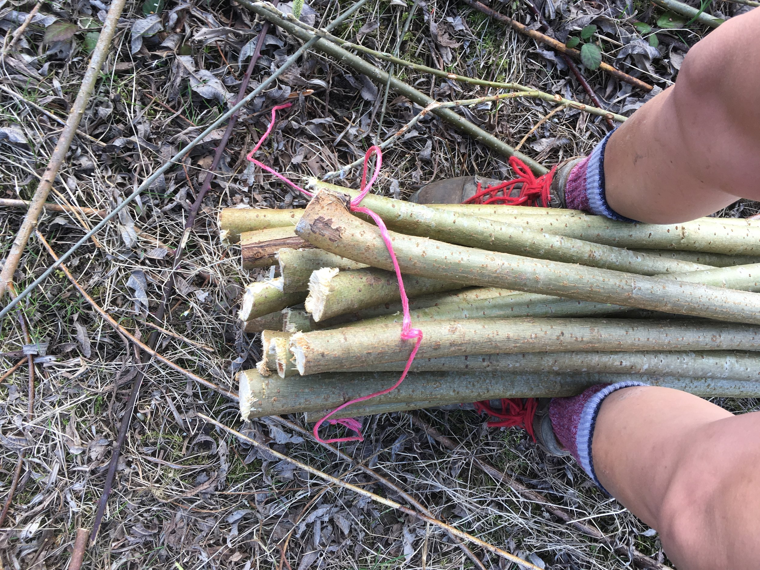 Tying a bundle of willow