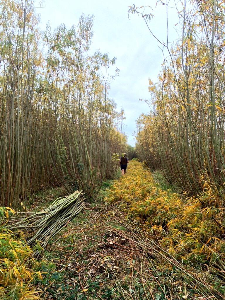 Walking through the willows