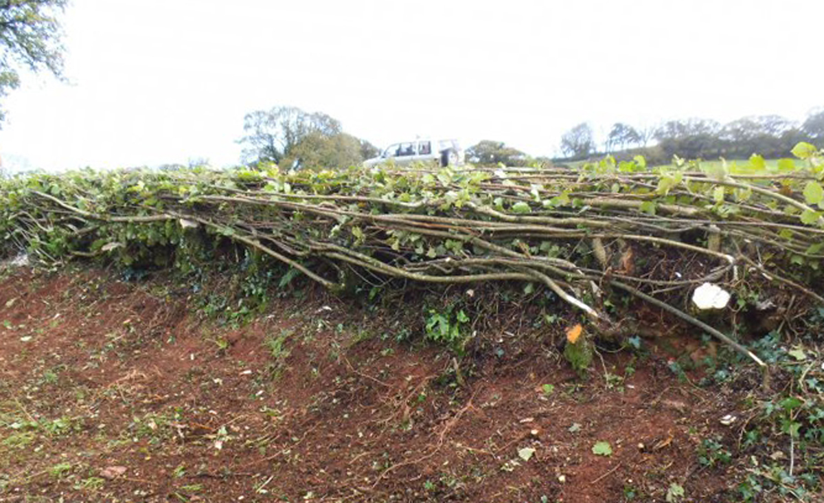 Dorset Hedge